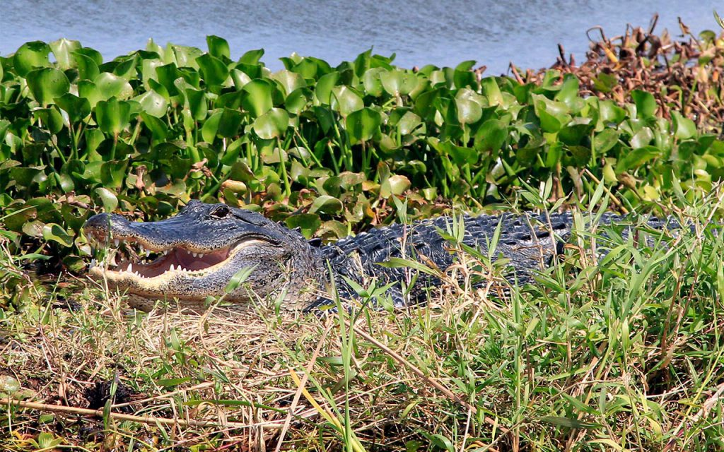 Alligator rests in Lilly as Gator Bait airboat tour goes by.